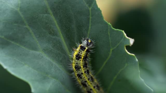 pieris brassicae larva at the cabbage leaf - crucifere brassicali video stock e b–roll