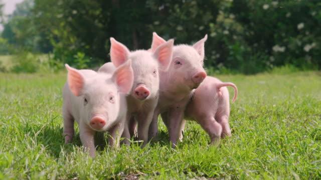 schwein niedliches neugeborenes steht auf einer rasenfläche. - schwein stock-videos und b-roll-filmmaterial