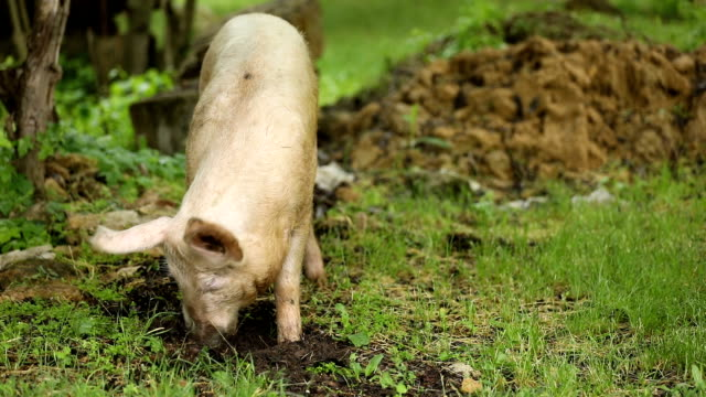 Pig eats roots on a green meadow video