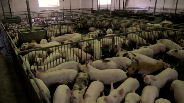 stockvideo's en b-roll-footage met varken-farm in oost-europa - pig farm