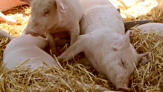 Pig farm Pig farm, little pigs laying in hay pork stock videos & royalty-free footage