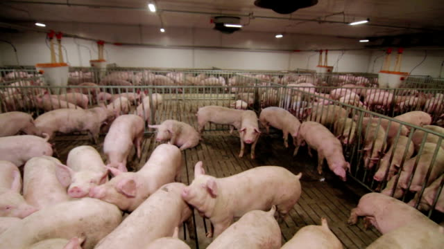 Pig farm with many pigs Intensive pig farming. Pig farm worker pork stock videos & royalty-free footage