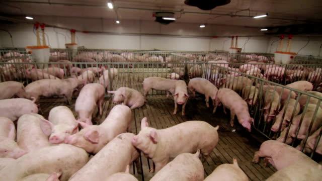 schweinemastanlage mit viele schweine - schwein stock-videos und b-roll-filmmaterial