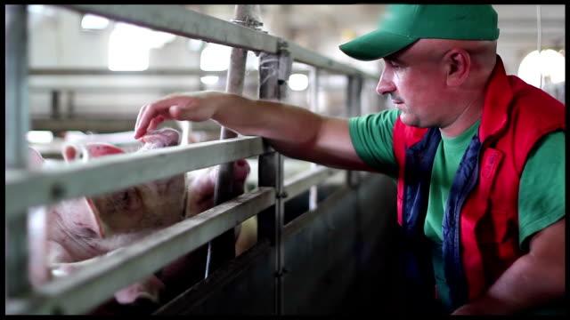 vidéos et rushes de l'élevage porcin de - inspecteur