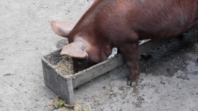 Pig feeding at trough. video