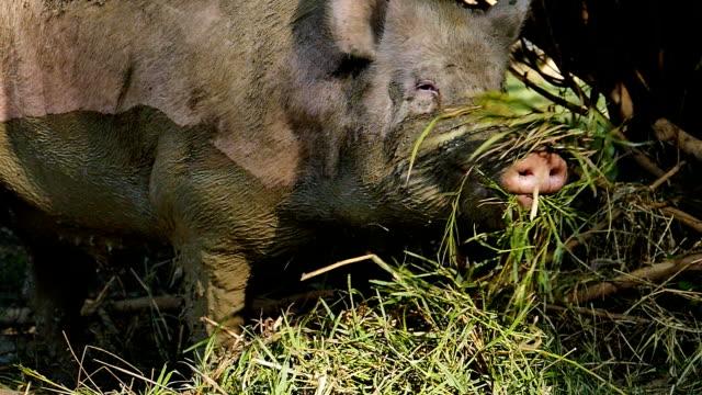Pig feeding natural food. video