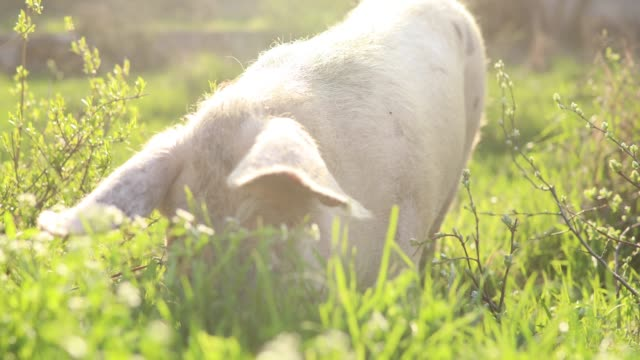 stockvideo's en b-roll-footage met varken met een lunch - pig farm