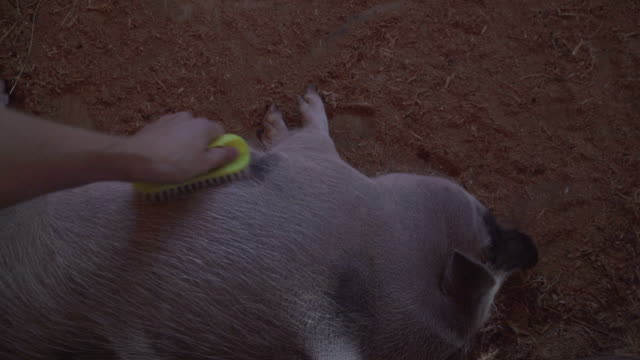 Pig in the zoo farm closeup video