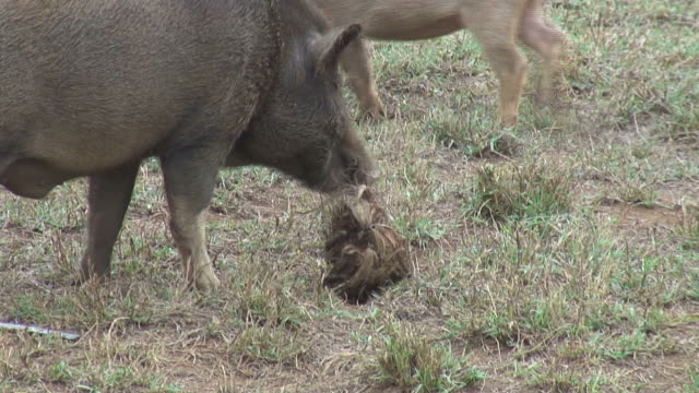 (HD1080i) Pig Plays with Husk, Licks and Sniffs video