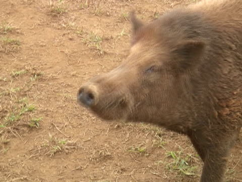 pig sniffs - 10 saniyeden daha kısa stok videoları ve detay görüntü çekimi