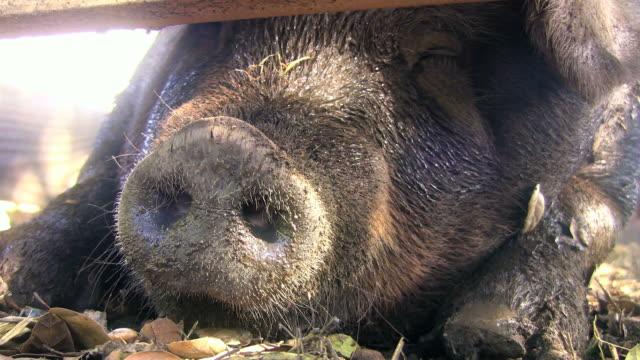 Pig Snout (HD) video