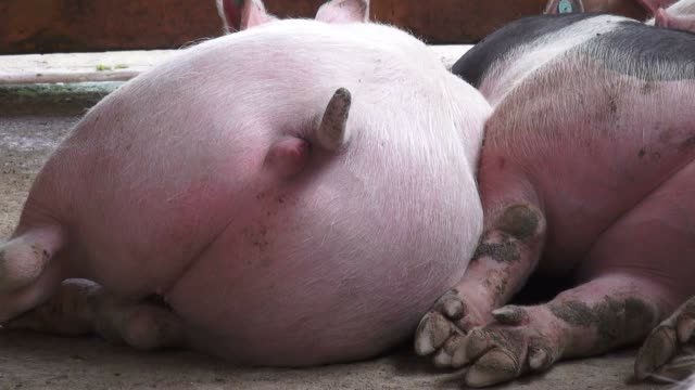 Pig Tails, Sleeping Pigs video