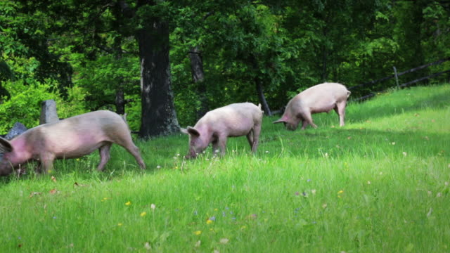 stockvideo's en b-roll-footage met pig - pig farm