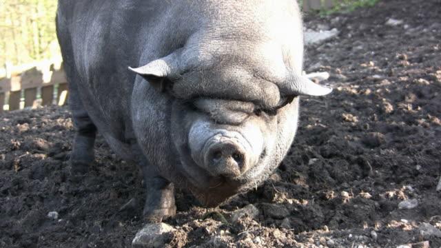 vídeos de stock e filmes b-roll de hd: porco - boca suja