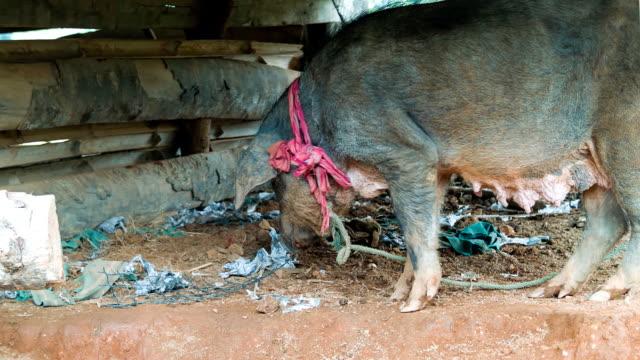 Pig. video