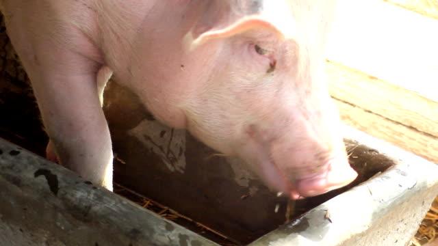 Pig (HD) video