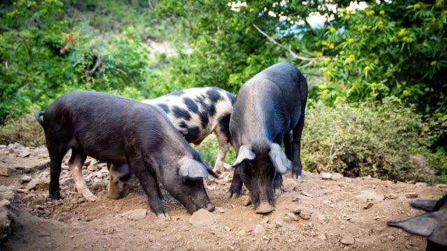 Pig video