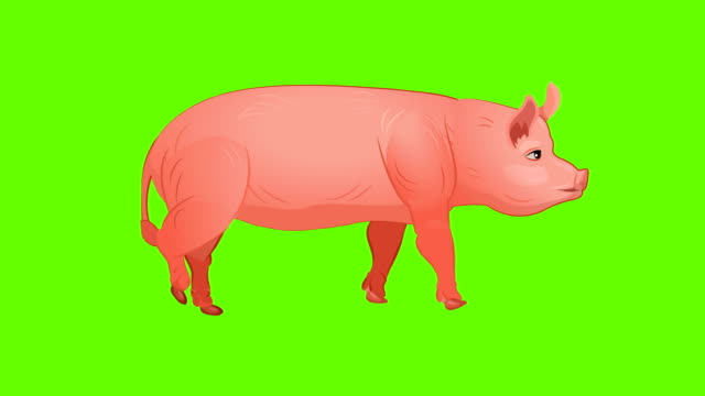 pig walk cycle animation - żywy inwentarz filmów i materiałów b-roll