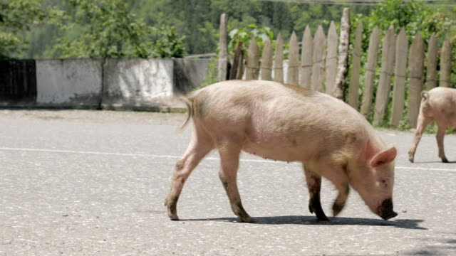 Pig walks on the road, Georgia video