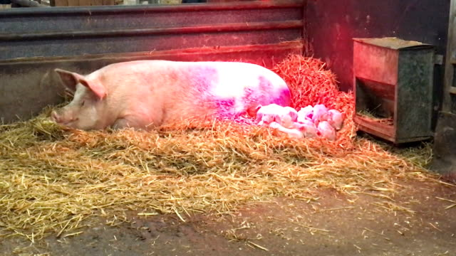 Pig with piglets under warm red lamp video