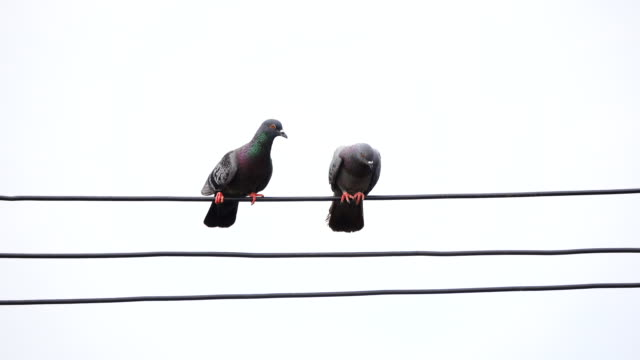 pigeon birds on cable wires - colombaccio video stock e b–roll