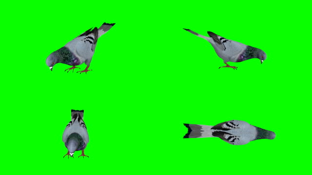 pigeon eating green screen (loopable) - colombaccio video stock e b–roll