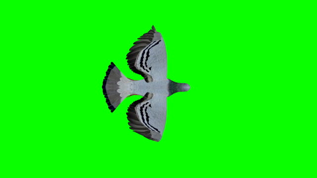 pigeon flying green screen (loopable) - colombaccio video stock e b–roll