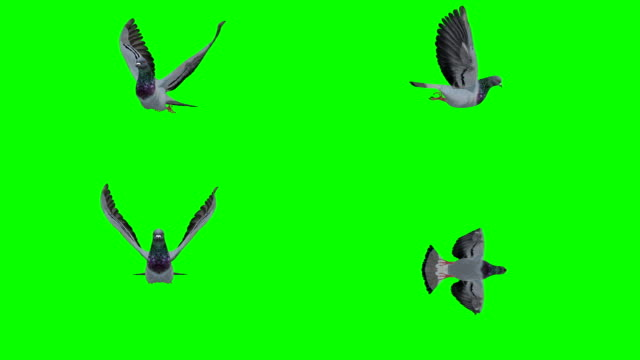 Pigeon Flying Green Screen (Loopable) video