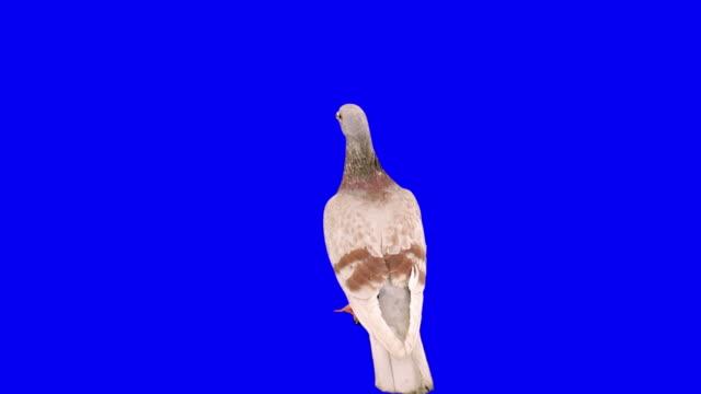 vídeos de stock e filmes b-roll de pombo a voar frame chroma key - pombo pássaro