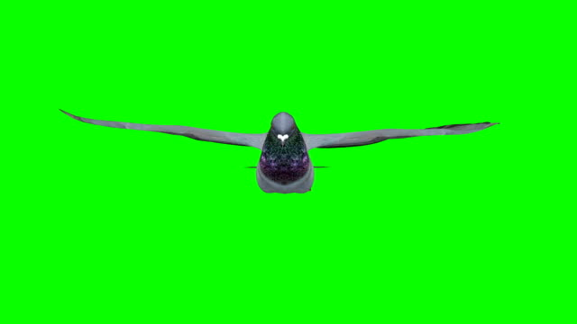 pigeon gliding screen (loopable) - colombaccio video stock e b–roll