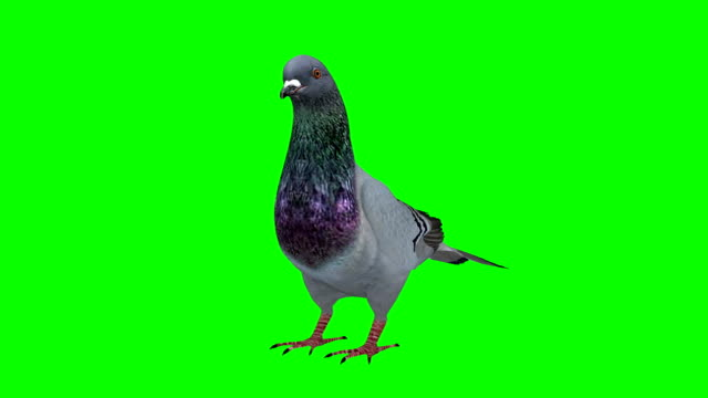 pigeon idle green screen (loopable) - colombaccio video stock e b–roll