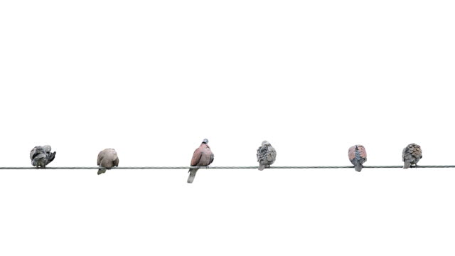 Pigeon on cable wires video