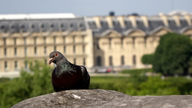 pigeon on the roof of Notre Dame de Paris Cathedral