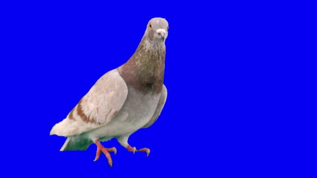 pigeon sposta da un piede per gli altri - colomba video stock e b–roll