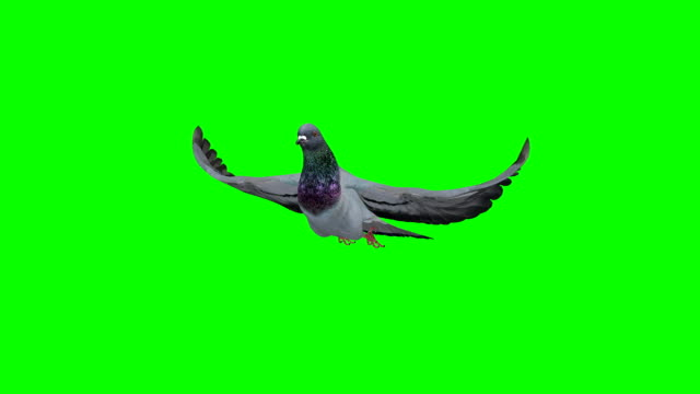 pigeon slowmotion green screen (loopable) - colombaccio video stock e b–roll
