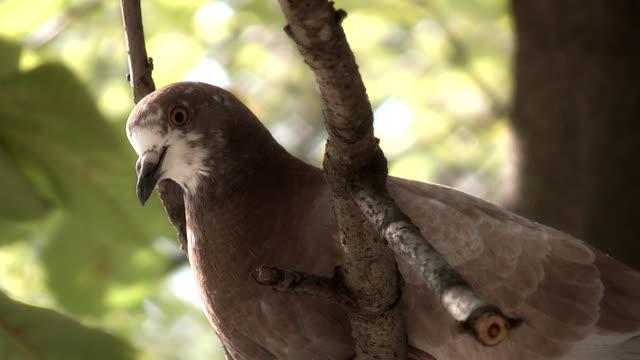 pigeon, - endemisch stock-videos und b-roll-filmmaterial