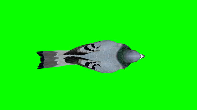 pigeon walking green screen (loopable) - colombaccio video stock e b–roll