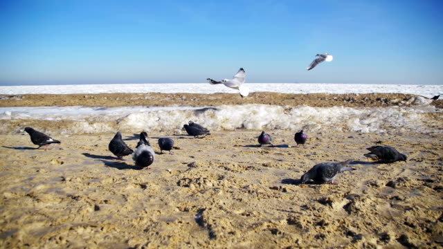 Pigeons and Seagulls Eat Bread on the Beach in Winter Frozen Ice-Covered Sea Background. Slow Motion video