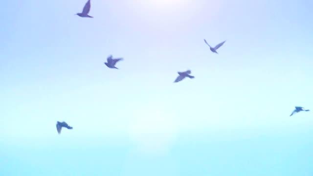 ハトとその美しいジュラルミン ビデオ