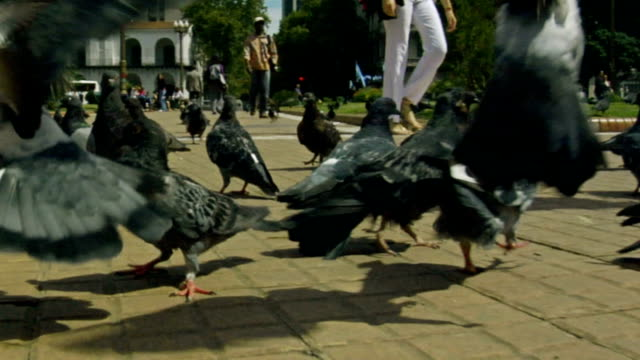 Pigeons chased through a park video