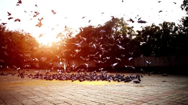 Pombos durante o pôr do sol - vídeo