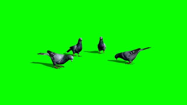 鴿子吃-綠色螢幕 - 海鷗 個影片檔及 b 捲影像