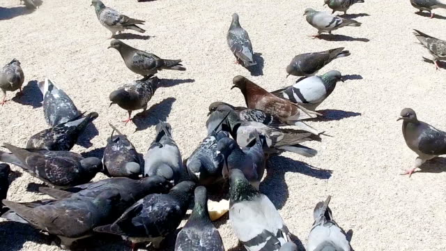 PARIS - Pigeons eating in square in front of Notre Dame Cathedral, SLOW MOTION