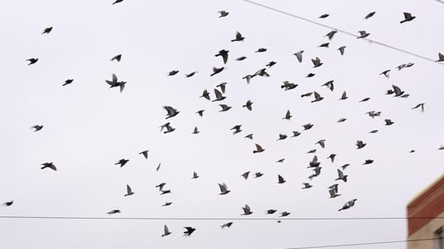 vídeos de stock e filmes b-roll de bando de pombos a voar fios e telefone - pombo pássaro