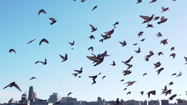 pigeons flying in a pack on hudson river facing new york city - colombaccio video stock e b–roll