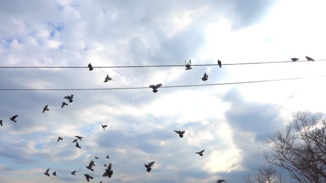 pigeons flying then perching on an electric wire outdoors in slow motion - appollaiarsi video stock e b–roll