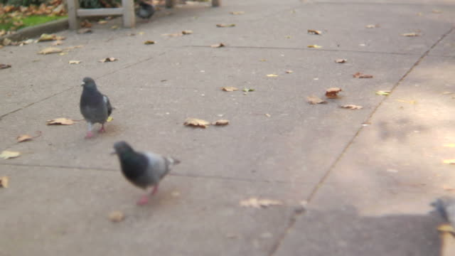 HD: Pigeons in a park Several pigeons are seen roaming through a park path.  A pull focus captures a single pigeon as he tracks across screen.  Shot on an HVX200 with a 35mm adapter at F1.4 at 24fps. park bench stock videos & royalty-free footage