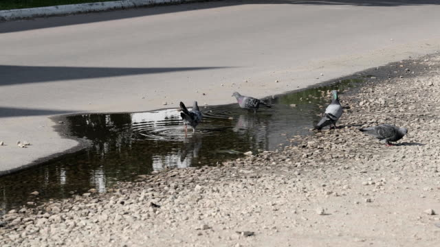 Pigeons in a puddle video