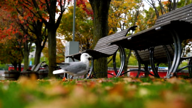 Pigeons in Montreal park in autumn
