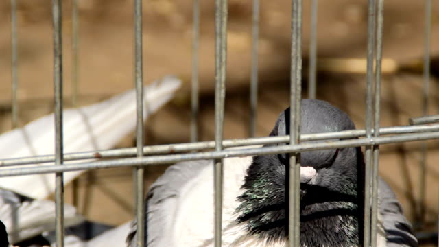 Pigeons in the cage for sale Pigeons in the cage for sale letterhead stock videos & royalty-free footage